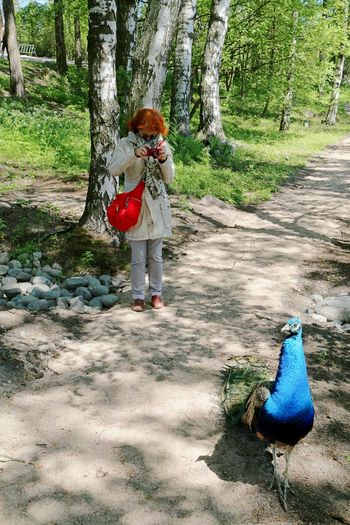Animal Themes Bird Casual Clothing Day Nature One Animal One Person Outdoors Peacock Photographer Red And Blue Standing