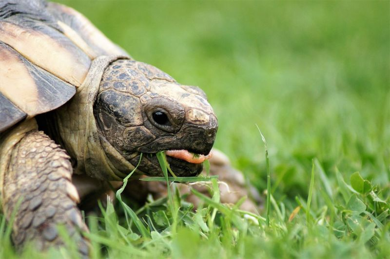 Tortoise standing on grass and eating it. Animal Themes Animal One Animal Tortoise Animal Shell Tortoise Shell Animal Body Part Animal Head  Animal Eye Animal Mouth Mouth Open Animal Tongue Tongue Out Pink Color Black Color Brown Pets Pet Owner Sunlight Shadow Silhouette Hot Day Summer Plant Grass Green Color Lawn Garden Reptile Animal Wildlife Nature Beauty In Nature No People Vertebrate Day Land Outdoors Close-up Selective Focus Side View Looking At Camera Eating