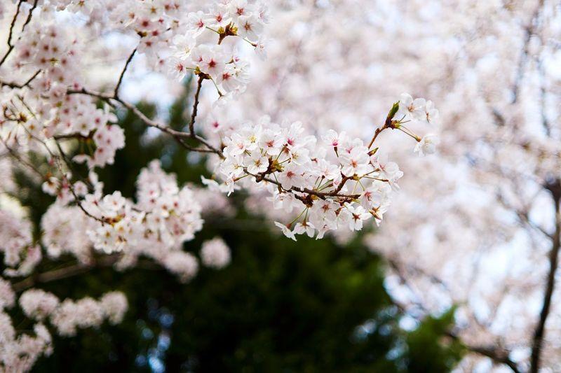 EyeEm Selects Flowering Plant Flower Fragility Plant Vulnerability  Blossom Springtime Cherry Blossom