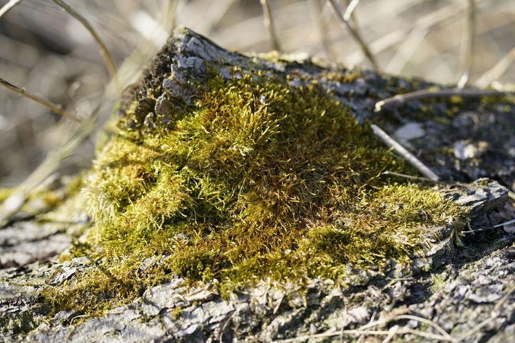 Bio Hindergrundbild Nature Nature Photography Waldspaziergang Baum 🌳🌲 Baumrinde Baumstamm Keine Leute Moos No People Wald