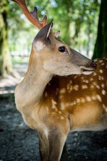 Daims - Nara park Deer Animal Love Beauty In Nature The Traveler - 2018 EyeEm Awards EyeEmNewHere Wildlife Japan Travel Photography Travel Travel Destinations One Animal Animal Animal Themes Animal Wildlife Animals In The Wild Mammal Focus On Foreground Day No People Close-up Outdoors Nature Forest Tree The Traveler - 2018 EyeEm Awards EyeEmNewHere