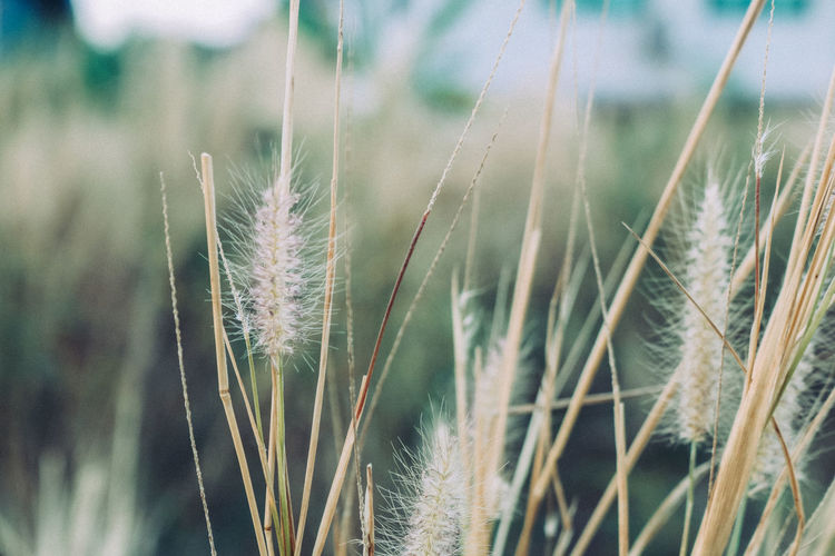 Beautiful Grass for you Agriculture Cereal Plant Selective Focus Wheat Outdoors Beauty In Nature No People Focus On Foreground Tranquility Plant Close-up Nature Timothy Grass Farm Stalk Day Field Land Grass Crop  Blade Of Grass Growth
