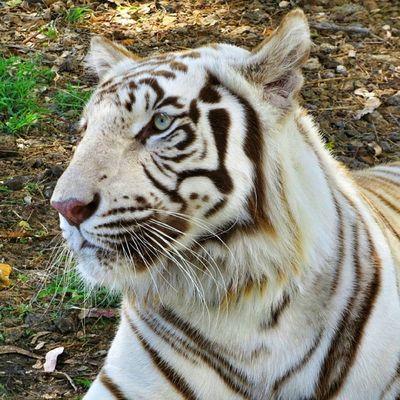 Portrait du tigre blanc royal aux yeux bleus. Portrait of the blue eyed white tiger. Rsa_nature Mycapture Igersmauritius