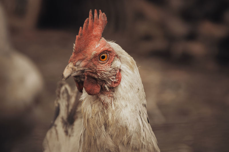 Close up of a chicken