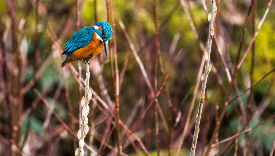Low angle view of kingfisher perching on plant