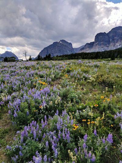 Alpine Landscape Wildflower EyeEm Selects Flower Mountain Rural Scene Flowerbed Uncultivated Sunset Wildflower In Bloom