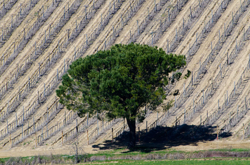 Tree on the Wine Field in Tuscany, Italy. Agriculture Arid Climate Close-up Day Filed Grass Landscape Nature No People Outdoors Scenics Tree Wine