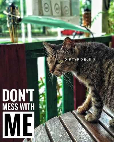 Don't Mess With Me Cat Feline Domestic Cat Mammal Text One Animal Animal Themes Pets Portrait