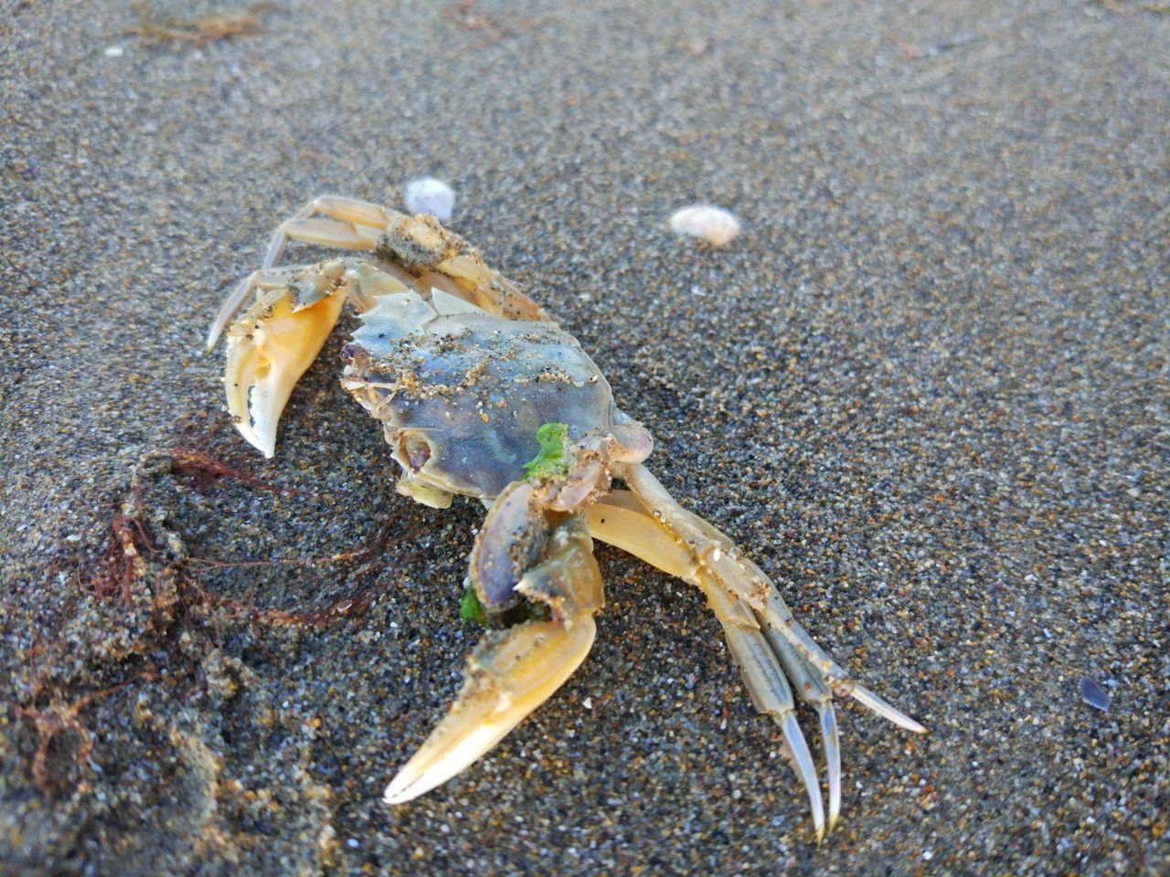 animal themes, one animal, crab, animal wildlife, animal, beach, close-up, land, animals in the wild, day, sand, no people, claw, nature, sea, outdoors, marine, crustacean, sea life, high angle view