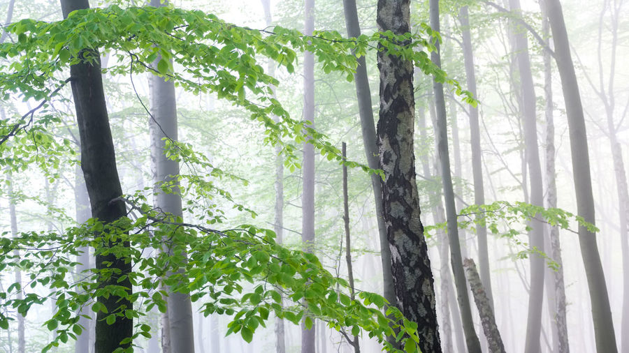 EyeEmNewHere Day Fog Forest Freshness Green Color Growth Leaf Nature No People Outdoors Plant Plant Part Spring Tree Tree Trunk