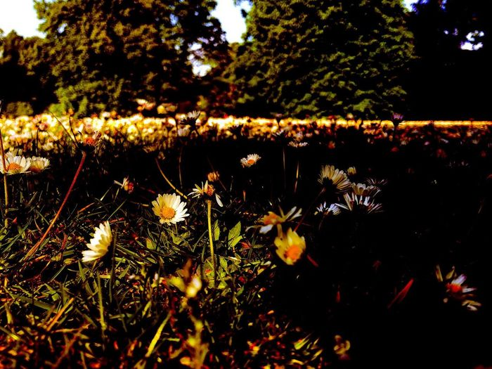 Daisies in the
