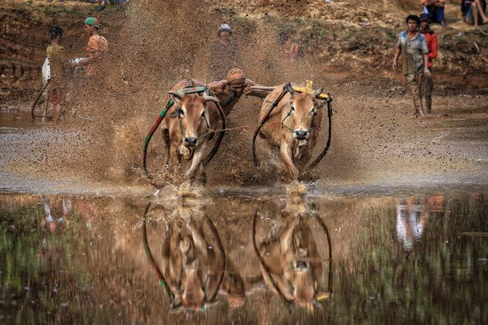 Bull race also known as pacu jawi a local traditional game among the villagers in Sumatera Bull Bull Race Day Domestic Animals Livestock M Mammal Men One Animal Outdoors Pacu Jawi Padang Real People Sumatera V Water Working Animal