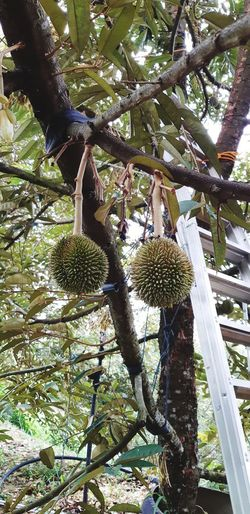 Durian Season Durian Tree Nice Green Durian Fram Green Nice Weather Go Green Greentrees Fruit Green Color Tree Branch Close-up Sky Flower Head Apple Plant Life Single Flower Pink Granny Smith Apple Growing Leaf Vein