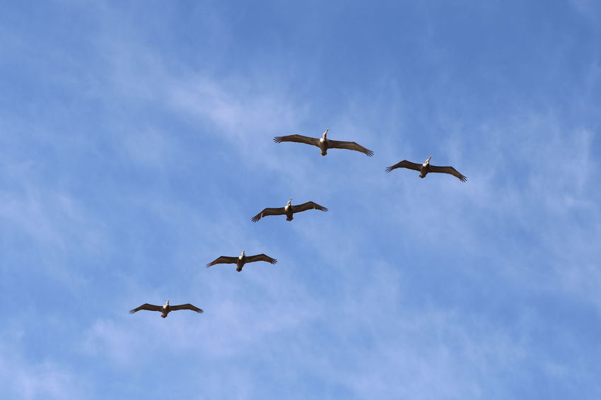 Animal Behavior Animal Wildlife Animals In The Wild Bird Cloud - Sky Flock Of Pelicans Flying Following Formation Flying Freedom Large Group Of Animals Low Angle View Motion Pelican Pelicans In Flight Sky Spread Wings