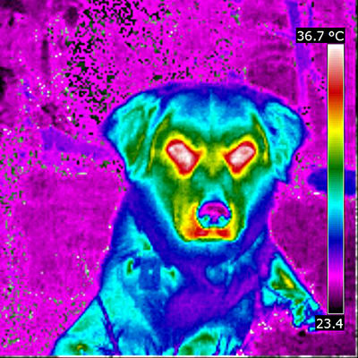 Animal Photography Animal Themes Animals Cute Dog  Cute Pets Dog Dog Head Domestic Animals Immagine Termica Pet Pet Photography  Temperatura Temperature Thermal Image Thermal Imaging Thermal Imaging Camera Thermic Image Veterinary Science Diagnostic Method