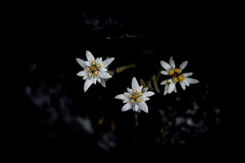Close-up of fresh white flowers blooming against black background