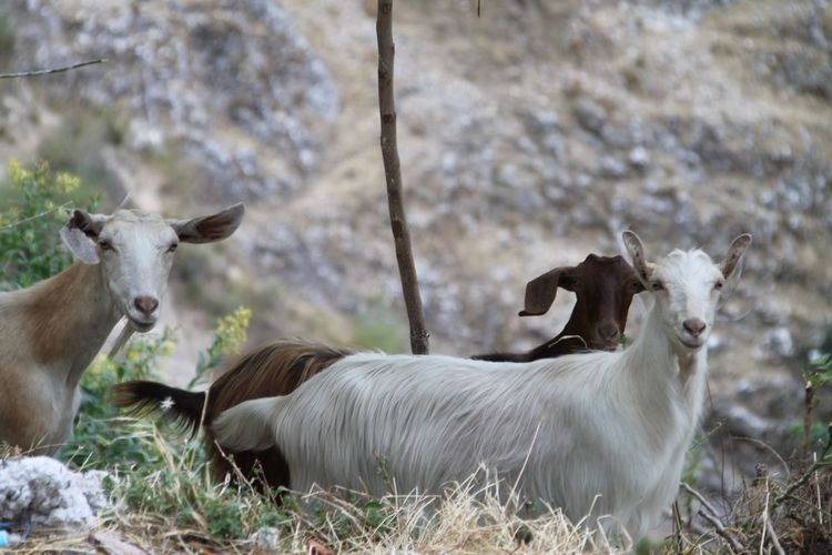 I met these goats visiting Stilo in Calabria (Italy) Stilo Calabria (Italy) Italy Travelling Travel Travel Photography Traveling Italy❤️ My Travel In Italy