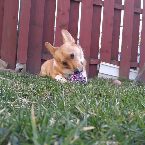 Dog playing with toy on grassy field