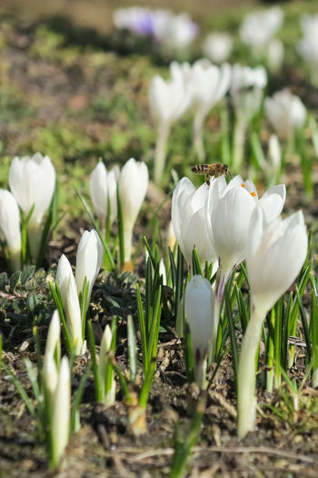 Bees Bees And Flowers Beauty In Nature Bee Close-up Crocus Day Field Flower Flower Head Flowering Plant Fragility Freshness Growth Inflorescence Land Nature No People Outdoors Plant Selective Focus Spring Flowers Springtime Vulnerability  White Color