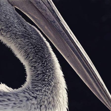 Pelican Minimalism Tissue Beak Animals 2015  Sasalı Doğal Yaşam Parkı