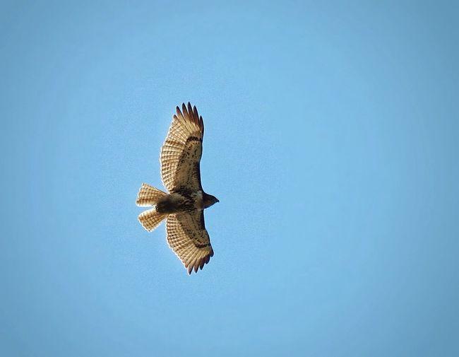 Light as a feather~ Hawk Birds Raptor Birds Of Prey Sky Bird Photography Popular Photos EyeEm Best Shots Bird Nature Photography