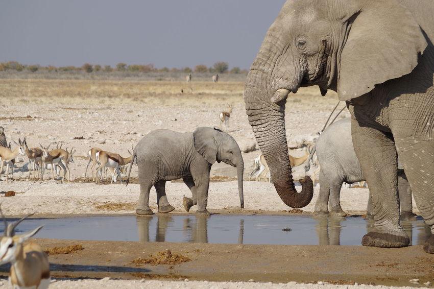 new kids on the block Namibia Namibia Landscape Namibia Desert Etosha National Park Etosha Afrika Wildlife African Elephant Water Elephant Safari Animals Side View Young Animal Animal Family Elephant Calf