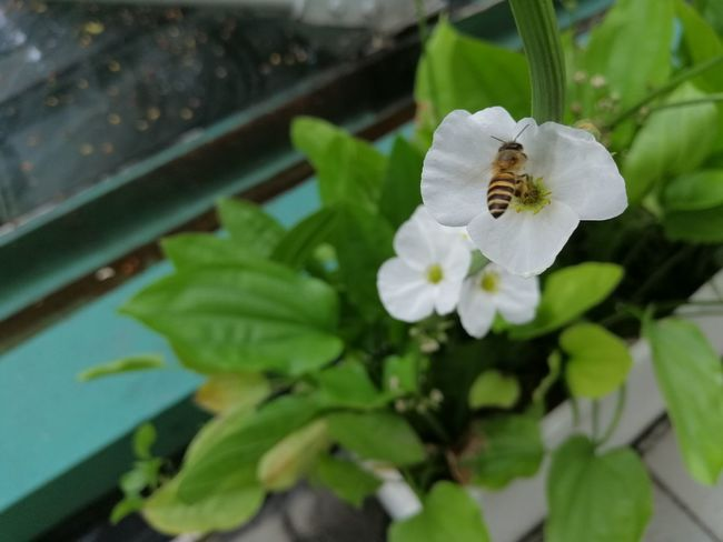 White flower and little bee Animal Animal Themes Animals In The Wild Beauty In Nature Bee Close-up Flower Flower Head Flowering Plant Freshness Growth Insect Invertebrate Leaf Little Bee Outdoors Petal Plant Plant Part Pollen Pollination White Color