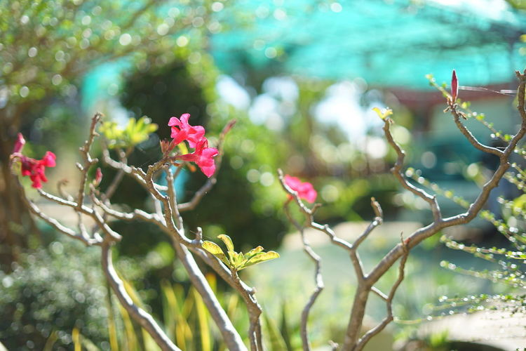 Adenium Obesum Bonsai Adenium Obesum Desert Rose Flower Flower Flower Head Petal Pink Color Fragility Nature Beauty In Nature Beauty In Nature Day Flower Flower Bokeh Flower Pink Green Flowering Plant Freshness Leaf Nature No People Outdoors Pink Color Plant Selective Focus
