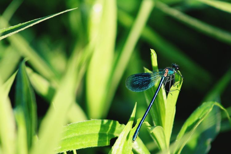 dragonfly God's Beauty God Is Great. Animal Animal Themes Animals In The Wild Animal Wildlife First Eyeem Photo Outdoors Outdoor Outdoor Photography Outdoors Photograpghy  Outside Outside Photography EyeEm Best Shots EyeEm Nature Lover EyeEm Selects EyeEmNewHere Eye4photography  Naturelovers Naturephotography Damselfly Leaf Insect Animal Themes Close-up Plant Green Color Dragonfly Animal Wing Blade Of Grass Fly