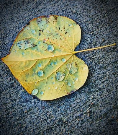 """""""The Last Watering"""" A fallen golden, Autumn leaf, stark in contrast to its concrete landing, receives a last baptism of water amongst its capillaries. Drops Of Water Water Drops Autumn Leafs Fallen Leaf Yellow Leaves Leaf Plant Part Yellow Nature Close-up Autumn Leaf Vein Textured  Leaves Falling Vulnerability  Change Concrete Wet Water"""