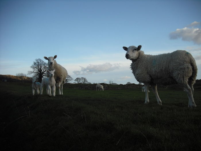 Sheep standing on field against sky