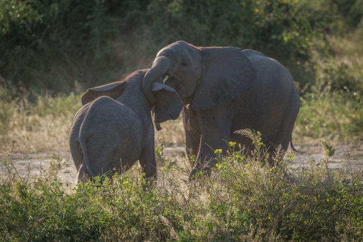 Playful elephants on field