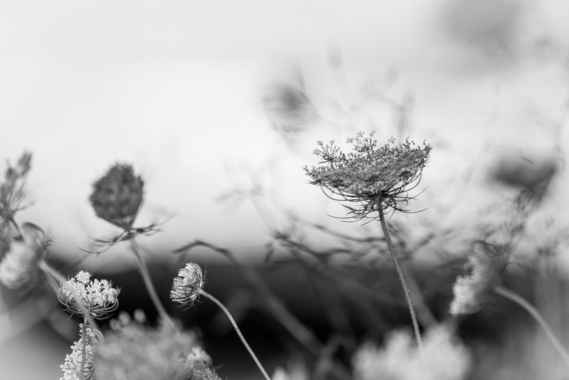 Blackandwhite Silhouette Growth Flower Nature Plant Field Beauty In Nature No People Outdoors Fragility Day Close-up Blooming Freshness Flower Head Thistle Sky