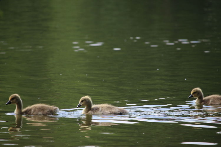 Side View Of Young Birds In Rippled Water