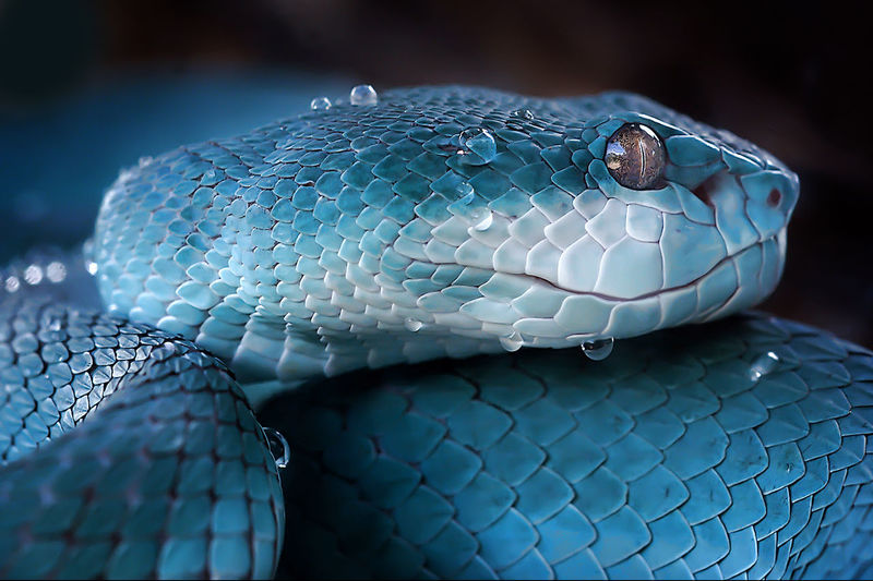 Close-up of wet turquoise snake against black background