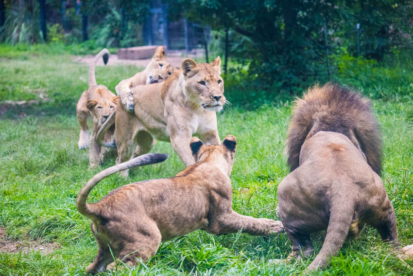 August 2018 - Play Time Animal Animal Family Animal Themes Animal Wildlife Animals Playing Cat Day Feline Field Grass Group Of Animals Land Lion - Feline Lion Cub Lioness Mammal Nature No People Plant Vertebrate Young Animal Zoo Animals