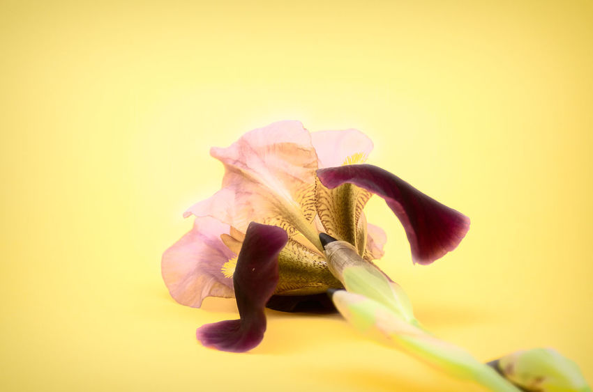 iris still life Iris Beauty In Nature Close-up Colored Background Flower Flower Head Flowering Plant Fragility Freshness Growth Indoors  Inflorescence Iris Germanica Nature No People Petal Plant Pollen Studio Shot Vulnerability  Yellow Yellow Background