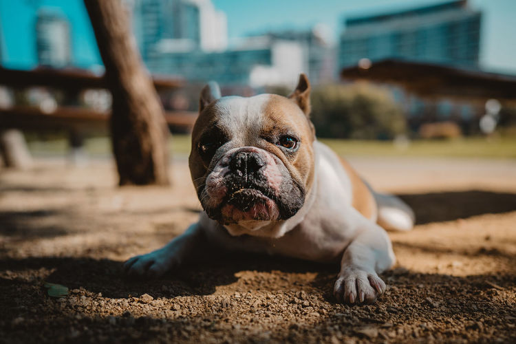 French bulldog chilling relaxing in the park