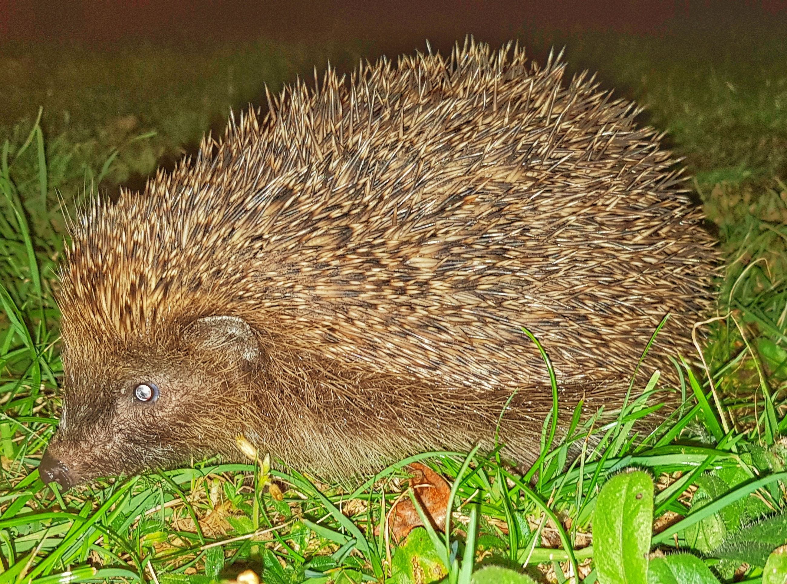 animal, animal wildlife, animal themes, one animal, animals in the wild, mammal, hedgehog, no people, field, vertebrate, plant, grass, nature, close-up, land, day, outdoors, green color, looking, focus on foreground