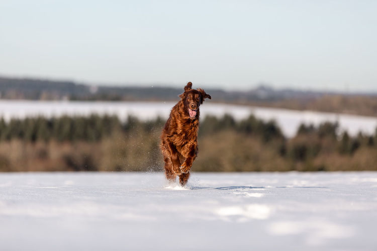 Red irish setter running in the snow looking at camera