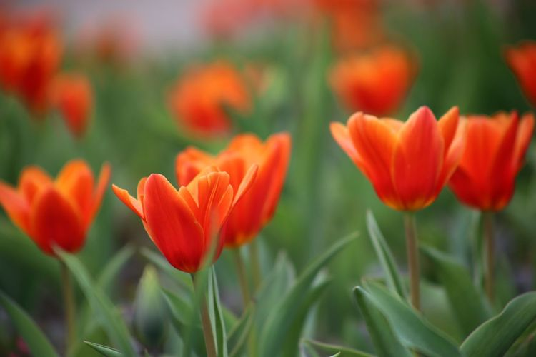 Seerosentulpe Petals Tulipa Kaufmanniana Red Tulip Red Tulips Up Close Red Tulips