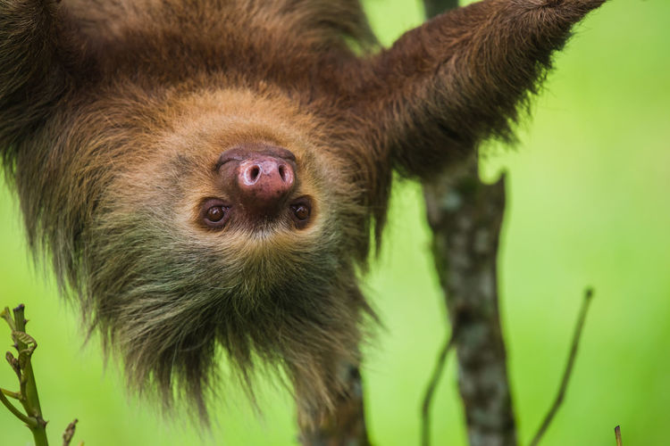 Close-up of hoffman two-toed sloth on tree