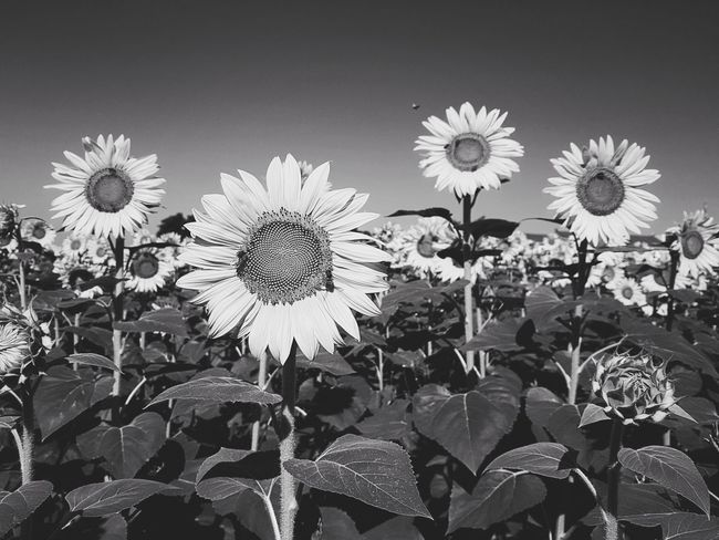 | Bee in black and white | Sunflowers Bee Black And White Beauty In Nature EyeEmItaly Flower Head Flower Petal Close-up Sky Plant Plant Life The Great Outdoors - 2018 EyeEm Awards The Street Photographer - 2018 EyeEm Awards