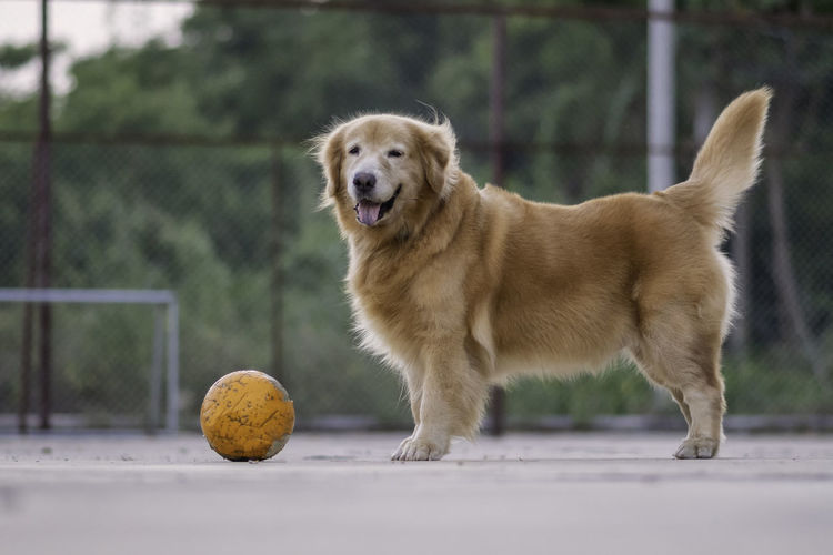 Golden retriever with ball in background