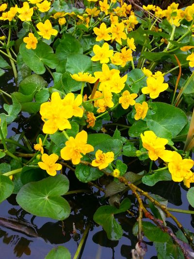 Water Flowers Water Collection  Yellow Flower