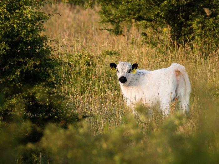 Calf on grass field