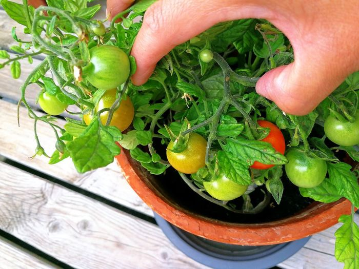 Human Hand Healthy Eating One Person People Food And Drink Close-up Freshness Food First Harvest Popular Photos EyeEm Best Shots Eye4photography  Exceptional Photographs Fresh Food Vegetable Harvest Time Freshness Happiness Red Green Color High Angle View Tomates
