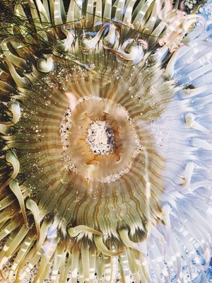 Sea anemone in a tide pool from above Animal In The Wild Animal Invertebrate Colorful Wildlife Coastline Coast Tide Pool Tidepools Sea Anemone Sea Anenome Sea No People Concentric Nature Beauty In Nature Indoors  Close-up Day UnderSea