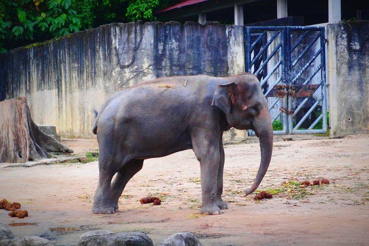EyeEm Selects Elephant Animal Wildlife Domestic Animals Outdoors Nature Animal Zoopark Zoomalaysia ZooLife Zoophotography Nature Day Elephant Calf Safari Animals Animals In The Wild Mammal