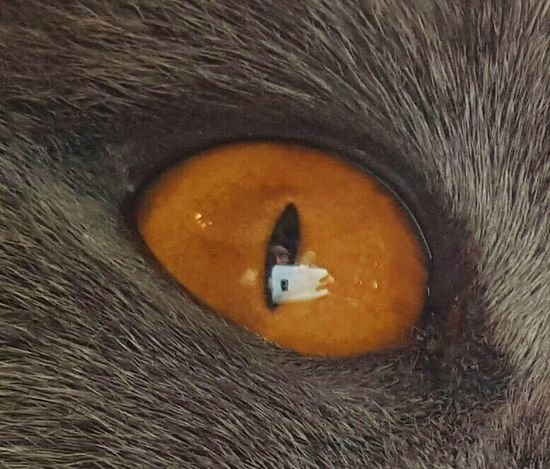 British Shorthair British Blue British Blue Short Hair.cats Pedigree Pedigreecats Blue Cat Grey Cat Copper Eyes Reflection Refelections Mobile Photography Cellphone Photography Photographer Cool Effect Cool Pic Pets Family Pet